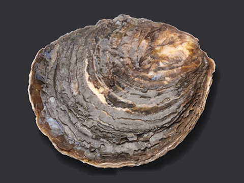 Dutch Imperial Oysters